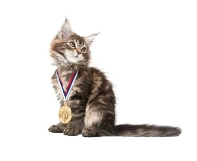 adorable brown tabby maine coon kitten with medal on neck