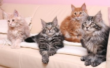 four maine coon kittens on a couch