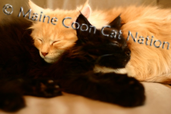 maine coon kittens sleeping