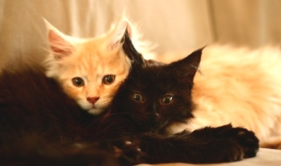 two cute maine coon kittens snuggling