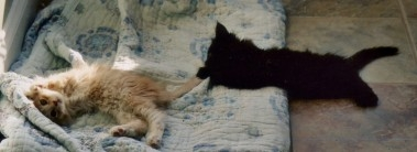 two small maine coon kittens