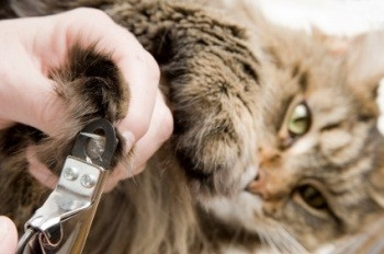 close-up of brown tabby maine coon cat getting her nails clipped