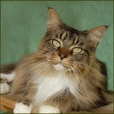 The Maine Coon Temperament
