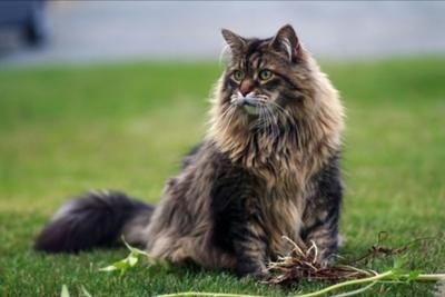 classic big maine coon cat