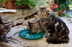 family of maine coon cats eating together