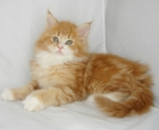 red maine coon kitten