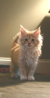 Red Silver Maine Coon Kitten