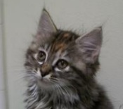 little maine coon kitten