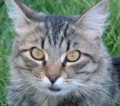 maine coon tabby cat