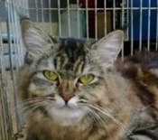 chi-brown-tabby-maine-coon-cat
