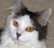 rescued maine coon cat