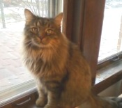 tabby maine coon mix