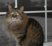 female maine coon cat