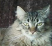 girl maine coon cat