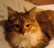 gwendolyn the maine coon cat