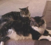 hemi and paisley maine coon mixes