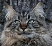 gorgeous classic maine coon cat