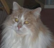 big-white-and-cream-maine-coon-cat