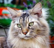 handsome maine coon cat