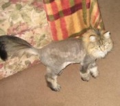 maine coon cat with lion cut