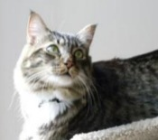 tabby-with-white-maine-coon-cat