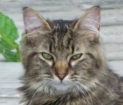 young maine coon