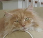 big red tabby maine coon cat