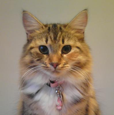 lily the maine coon mix