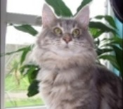 big maine coon cat
