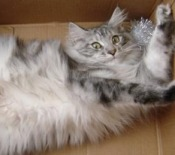 silver white maine coon