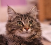 brown maine coon kitten