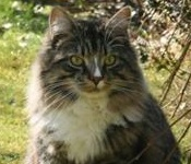 monty the maine coon mix