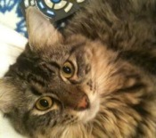 oprah-the-maine-coon-mix
