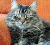 rachel-the-maine-coon