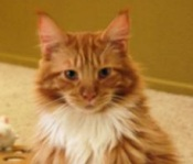 rocky the maine coon cat