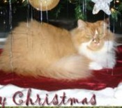 orange and white maine coon