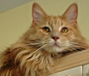 simba the maine coon cat