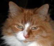 red with white maine coon cat