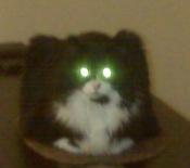 maine coon tuxedo cat