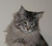 zak the maine coon cat