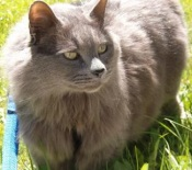 smokey colored maine coon mix cat