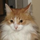 red and white tabby cat