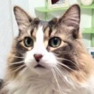 brown with white maine coon mix