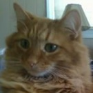 jelly the red tabby