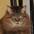brown maine coon mix