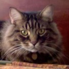 brown tabby maine coon mix