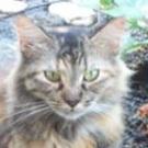pretty calico cat