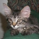 cute kitten with big ears