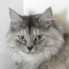 silver maine coon rescue