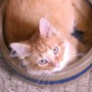 red tabby maine coon mix